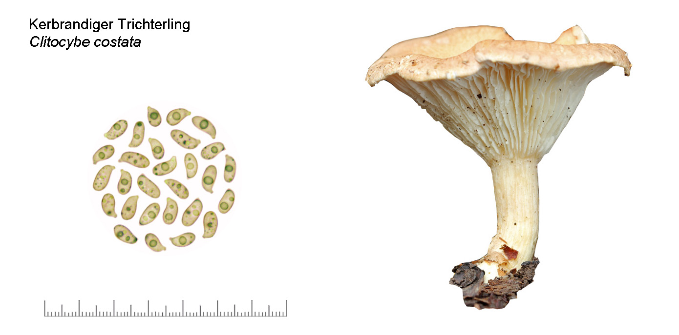 Clitocybe costata, Kerbrandiger Trichterling