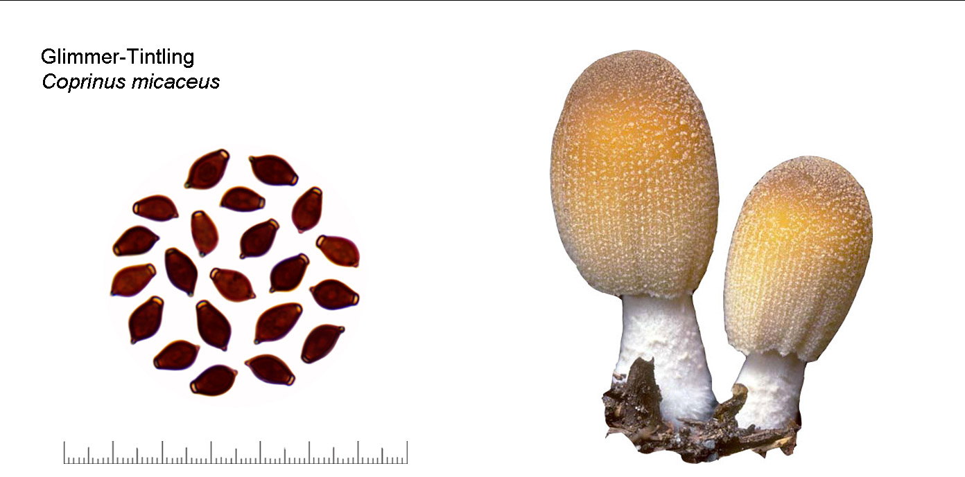 Coprinus micaceus, Glimmer-Tintling