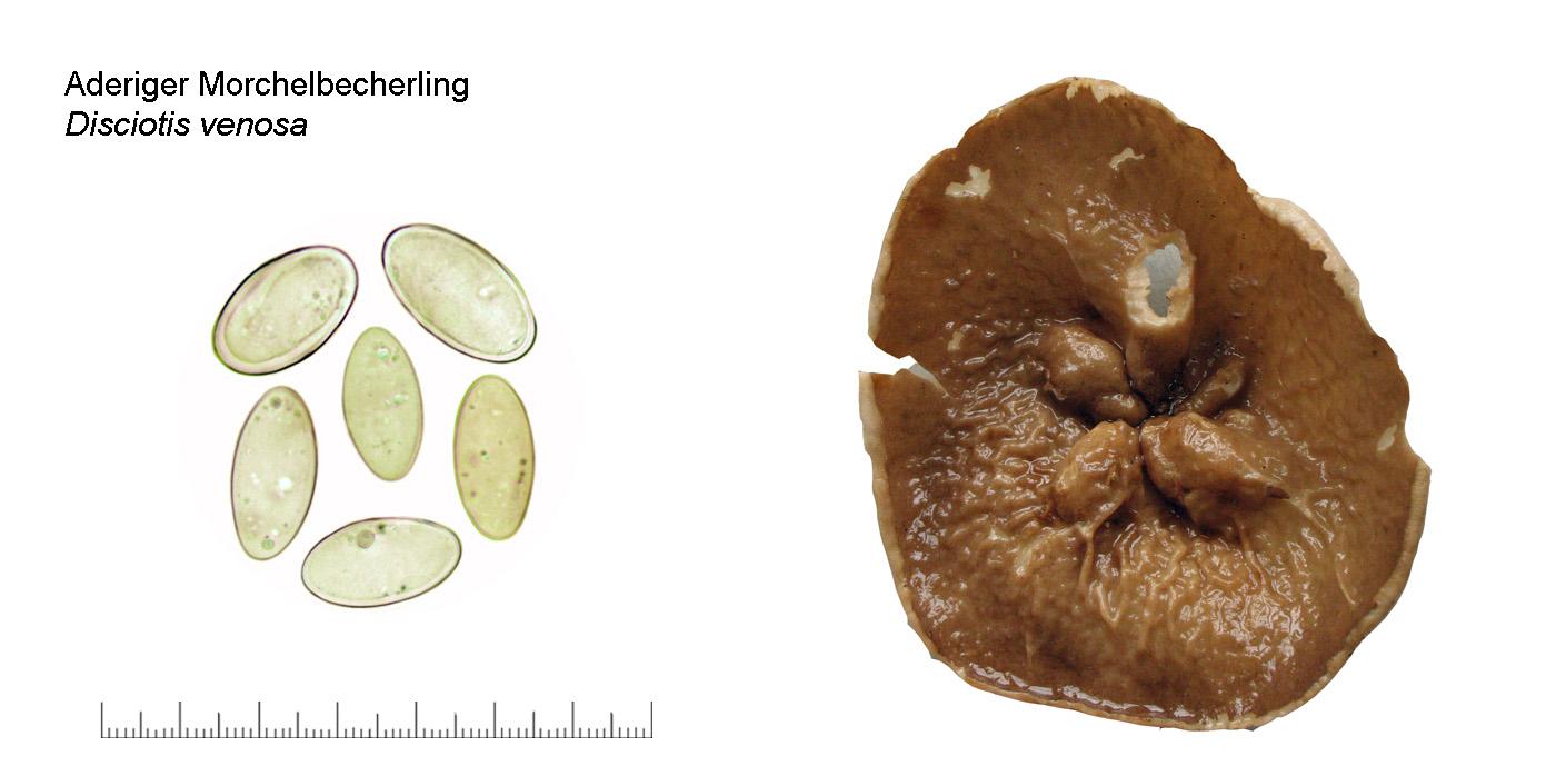disciotis venosa  aderiger morchelbecherling