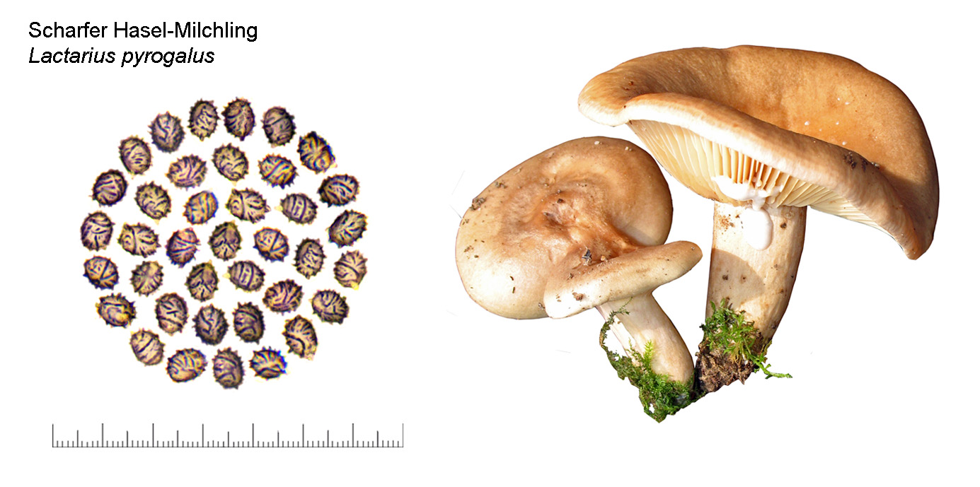 Lactarius pyrogalus, Scharfer Hasel-Milchling