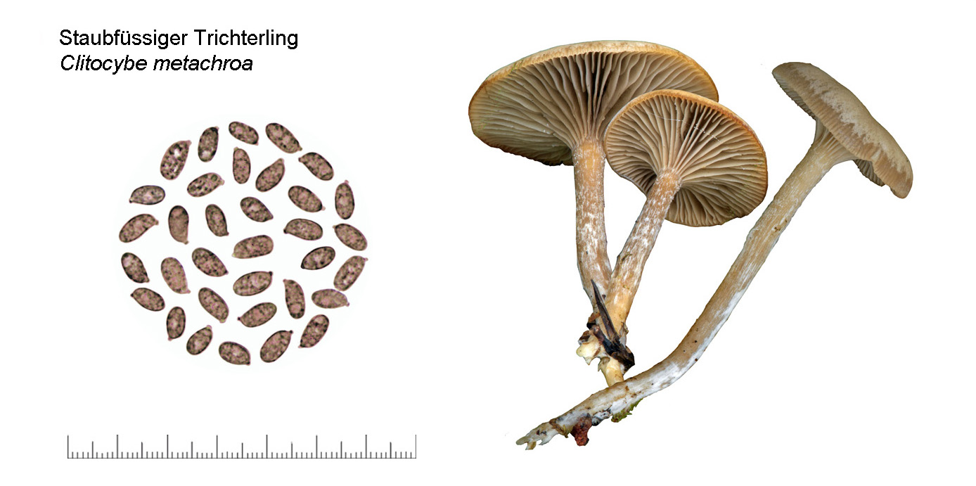 Clitocybe metachroa, Staubfüssiger Trichterling