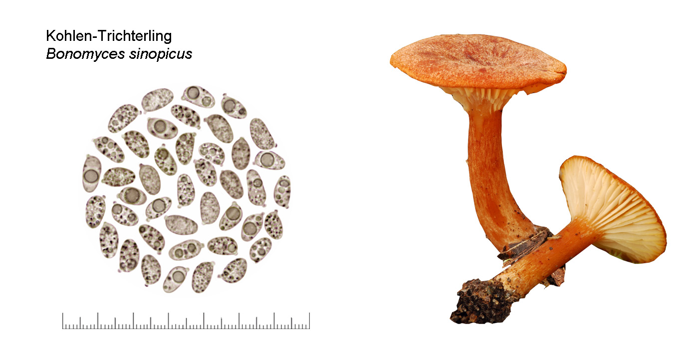 Bonomyces sinopicus, Kohlen-Trichterling